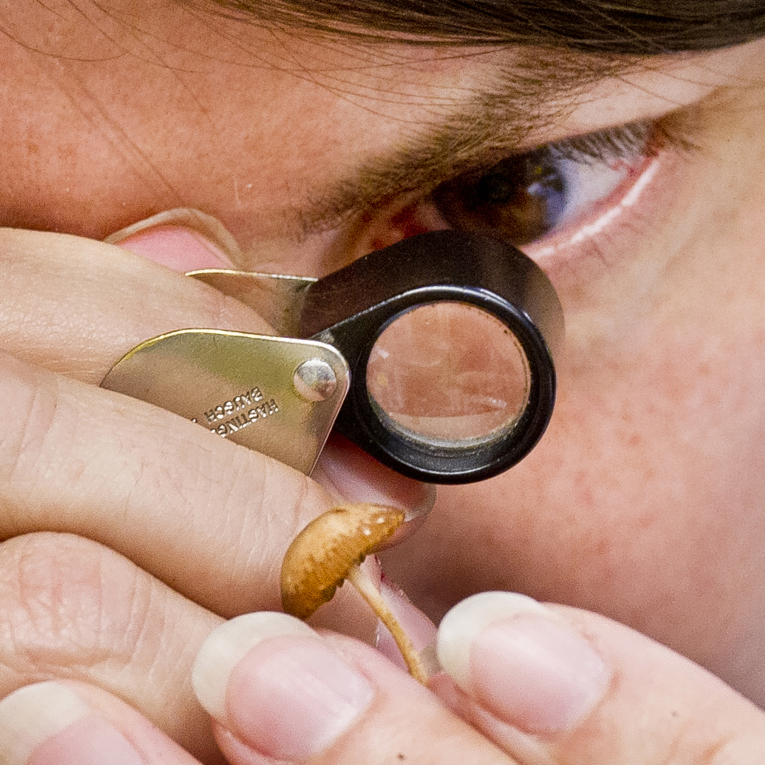 examining mushroom with magnifiying glass